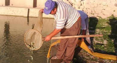Suğla Gölüne 290 bin yavru Sazan bırakıldı